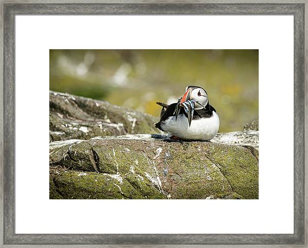 Puffin With Sand Eels Framed Print