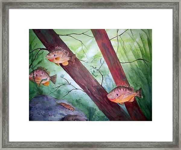 Pumpkinseed Sunfish Framed Print
