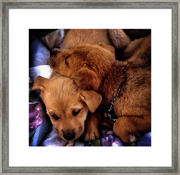 Framed Print featuring the photograph Puppies by Samuel M Purvis III