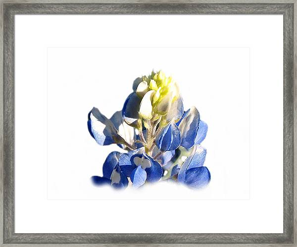 Pure Blue Bonnet Framed Print