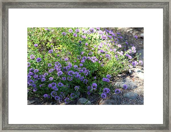 Purple Bachelor Button Flower Framed Print