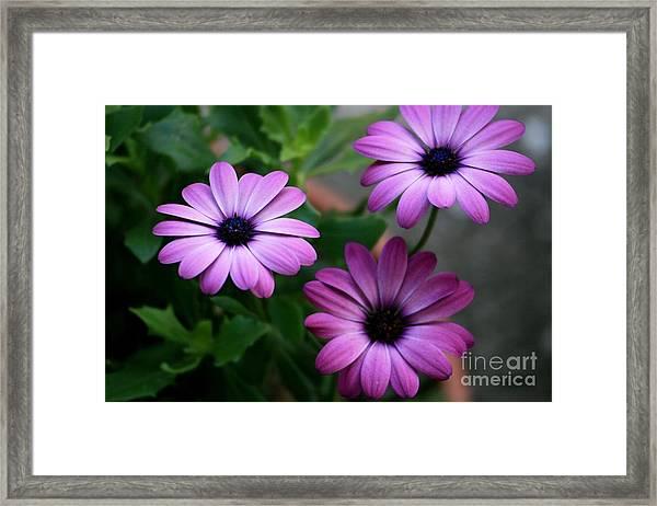 Purple Beauty Framed Print by Valia Bradshaw