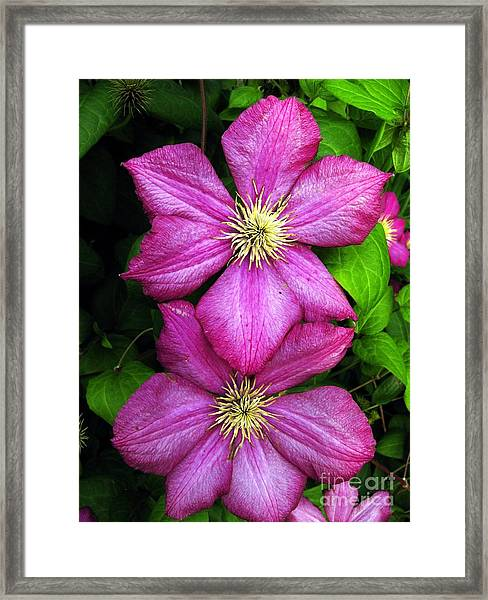 Purple Clematis 2 Framed Print