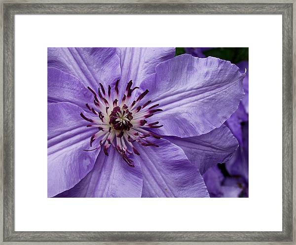 Purple Clematis Blossom Framed Print