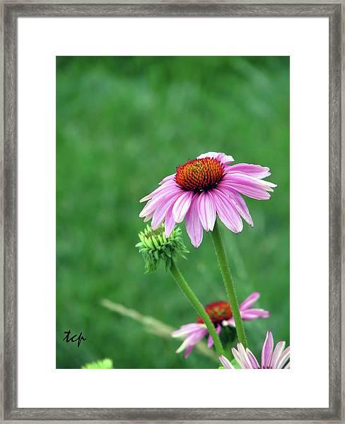 Purple Cone Framed Print