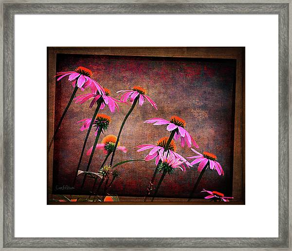 Purple Coneflowers Out Of Alignment  Framed Print