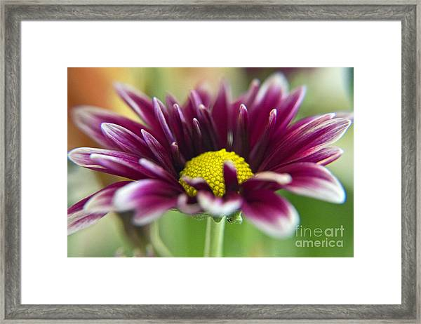 Purple Daisy Framed Print
