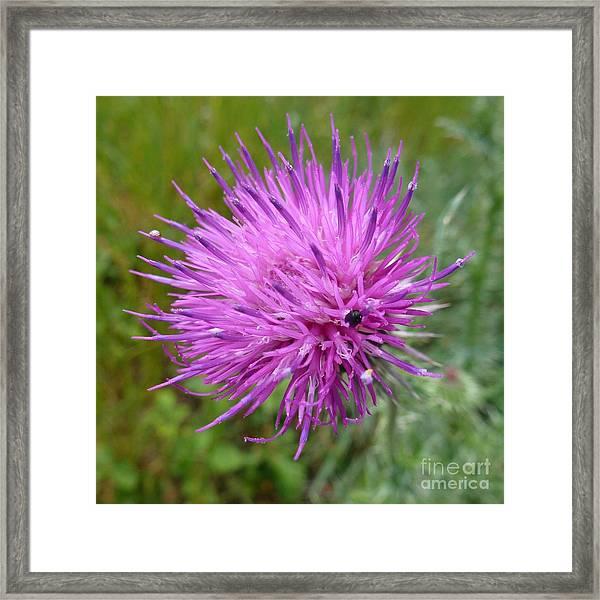 Purple Dandelions 2 Framed Print