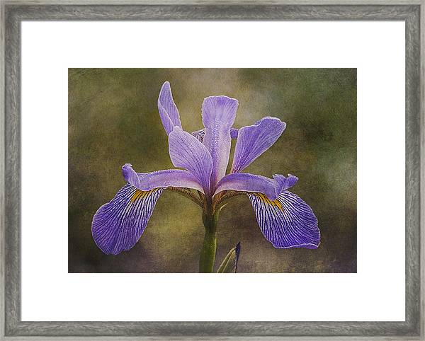 Framed Print featuring the photograph Purple Flag Iris by Patti Deters
