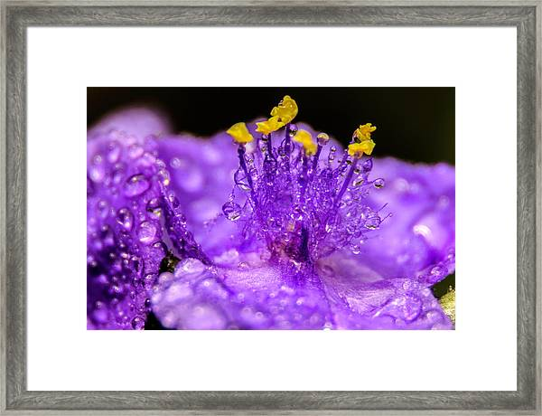 Purple Flower After The Rain Framed Print
