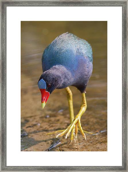 Purple Gallinule Bigfoot Framed Print