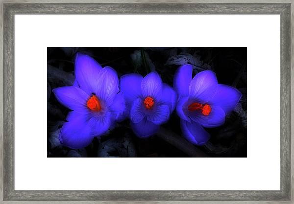 Beautiful Blue Purple Spring Crocus Blooms Framed Print