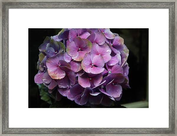 Purple Hydrangea- By Linda Woods Framed Print