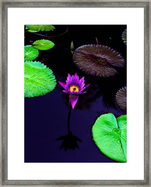 Purple Lily Framed Print