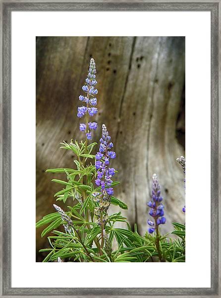 Purple Lupine Framed Print