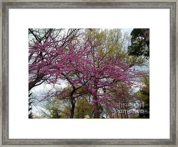 Framed Print featuring the photograph Purple Spring Trees by Rachel Maynard