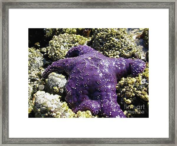 Purple Star Fish Framed Print