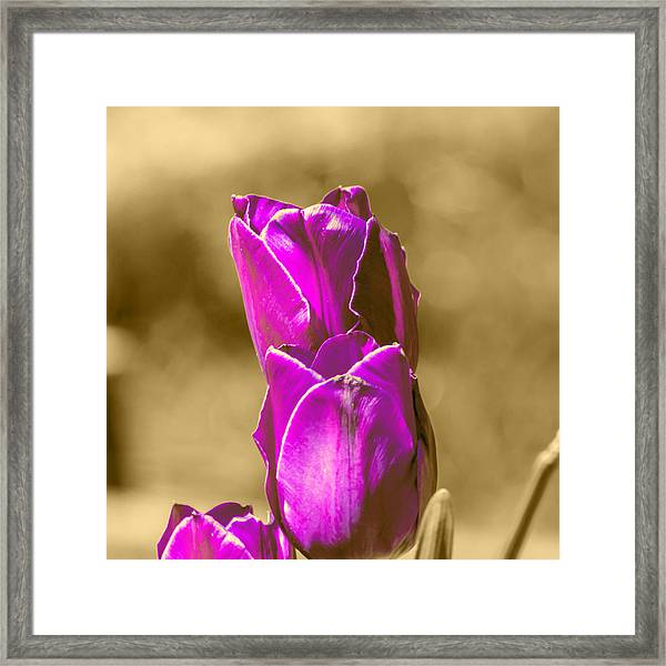 Purple Tulips Sepia Background Framed Print