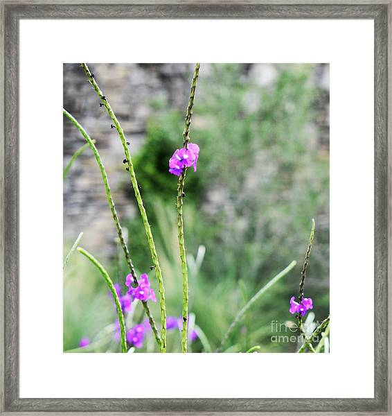 Purple Vebena Framed Print
