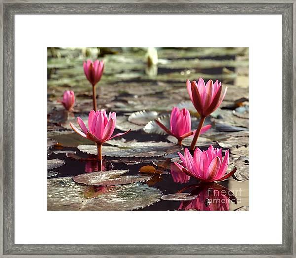 Purple Water Lillies Framed Print