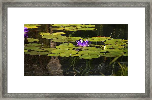 Purple Water Lilly Distortion Framed Print