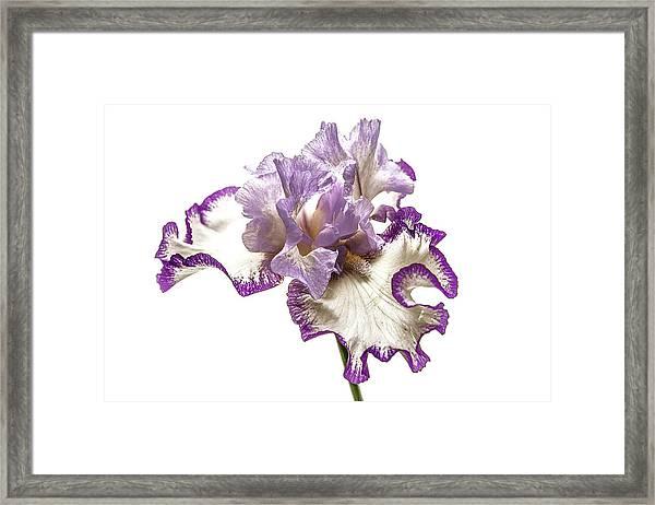 Purple White Iris Framed Print
