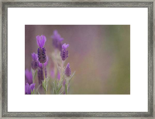 Purple Wings Framed Print