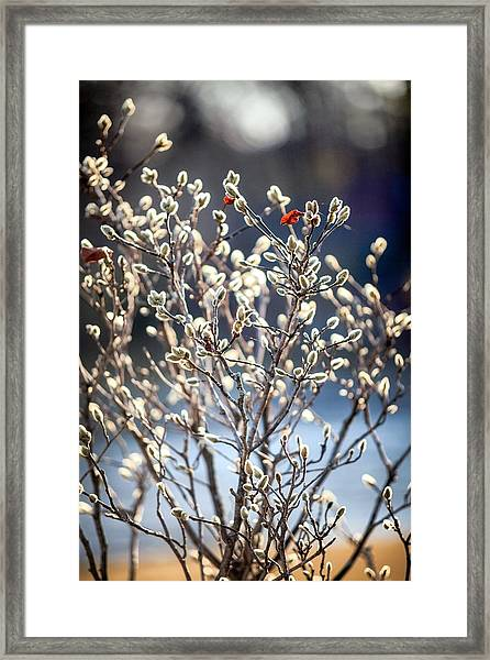 Pussy Willow Framed Print