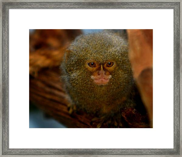 Pygmy Marmoset Framed Print
