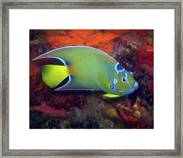 Queen Angelfish, U. S. Virgin Islands 2 Framed Print
