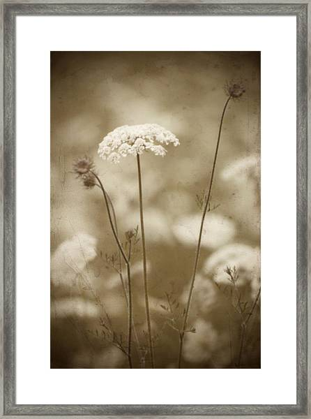 Queen Anne Lace Framed Print
