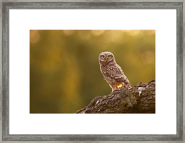 Qui, Moi? Little Owlet In Warm Light Framed Print
