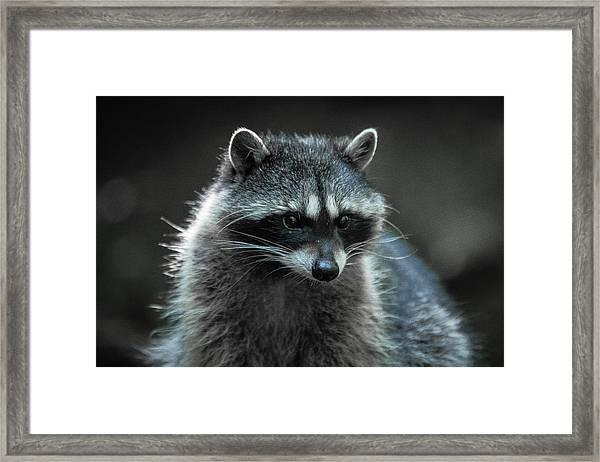 Raccoon 2 Framed Print
