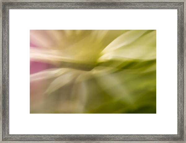 Radiant Coneflower Framed Print