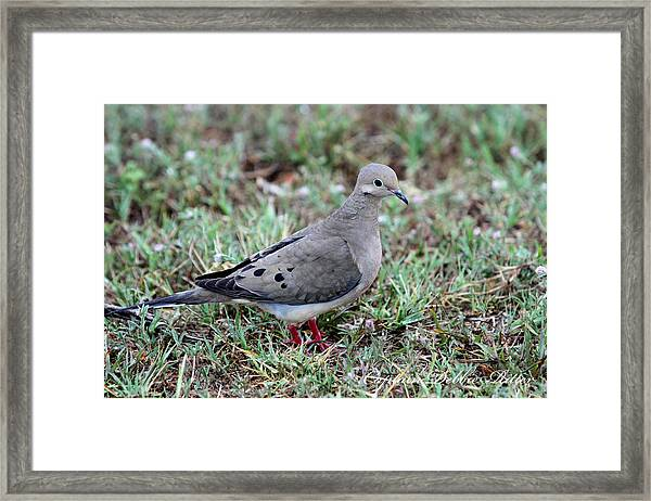 Rain Dove Framed Print