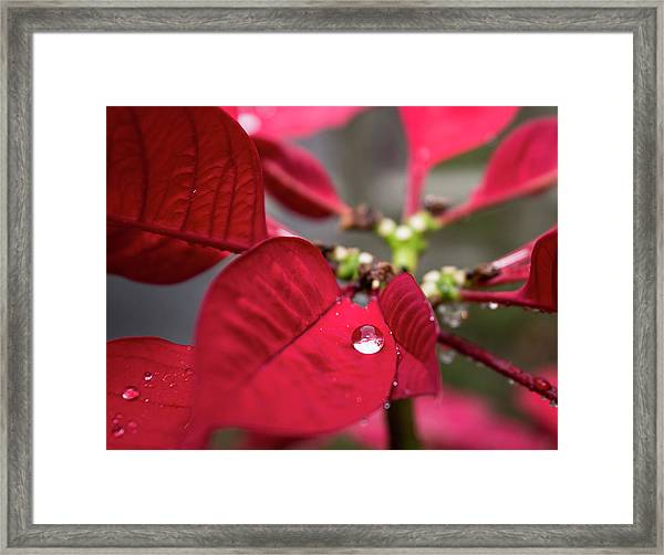 Rain Drop On A Poinsettia  Framed Print