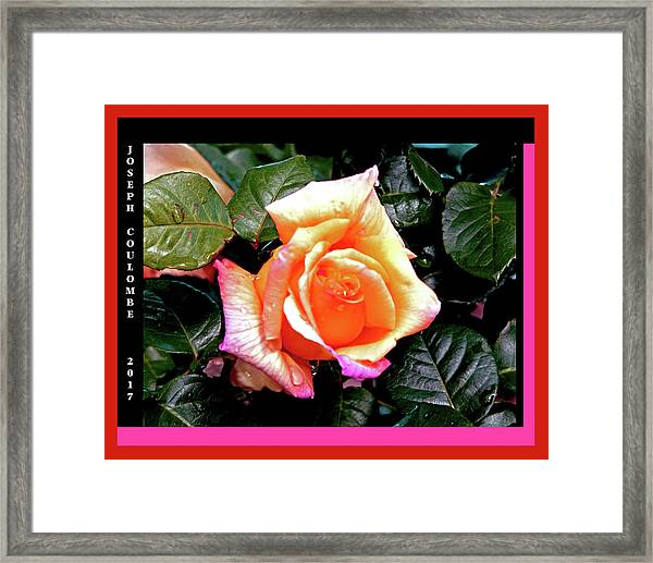 Rain Drops On A Rose Framed Print