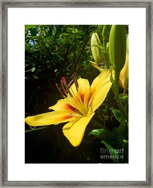 Rain Kissed Tiger Lily Framed Print