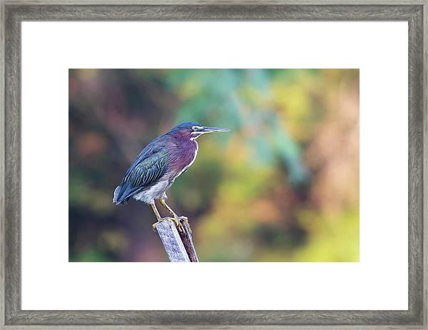 Rainbow Heron Framed Print