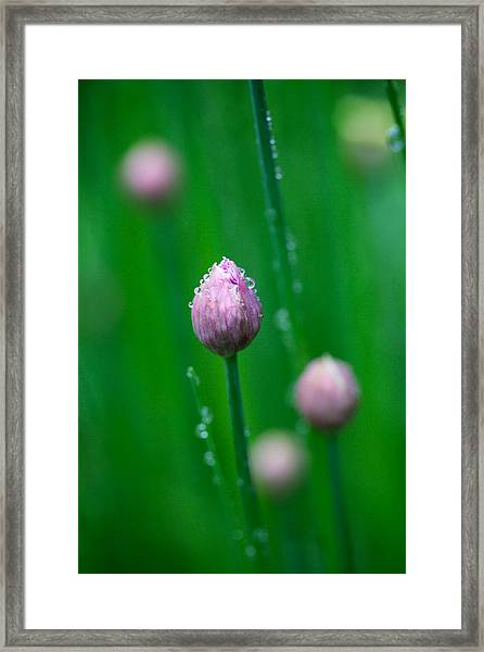 Raindrops On Chive Flowers Framed Print