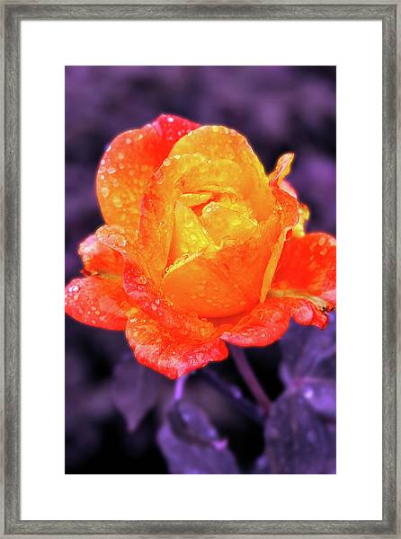Raindrops On Roses Framed Print