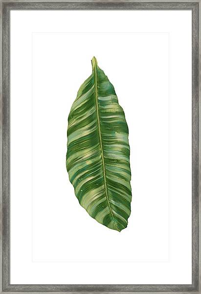 Rainforest Resort - Tropical Banana Leaf  Framed Print