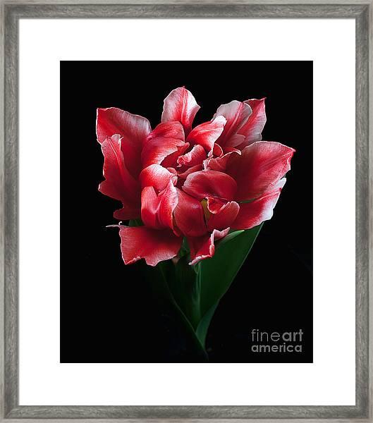 Rare Tulip Willemsoord  Framed Print