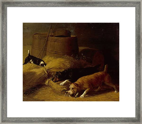 Rats In The Barley Sheaves Framed Print
