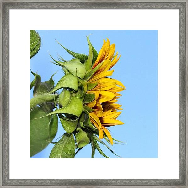 Reaching Sunflower Framed Print