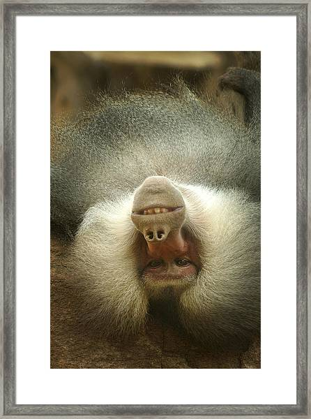 Reclining Baboon Framed Print