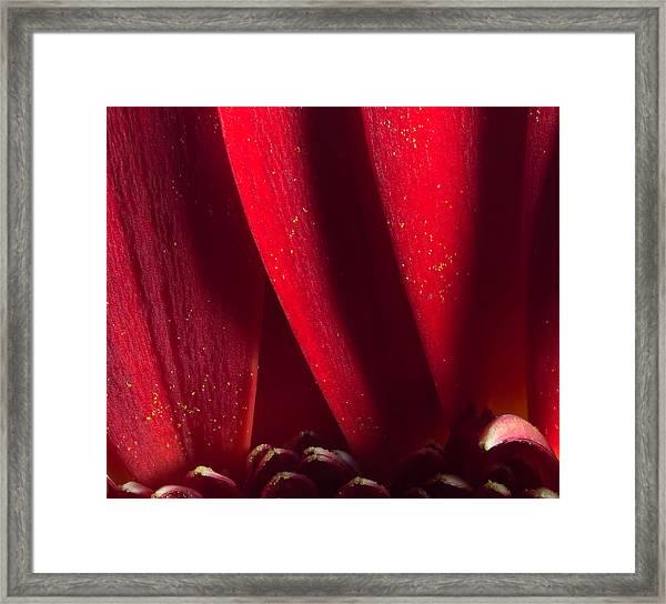 Golden Pollen Red Chrysanthemum Framed Print