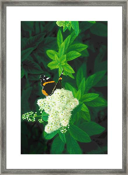Red Admiral On Spirea Framed Print