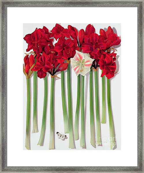 Red Amaryllis With Butterfly Framed Print