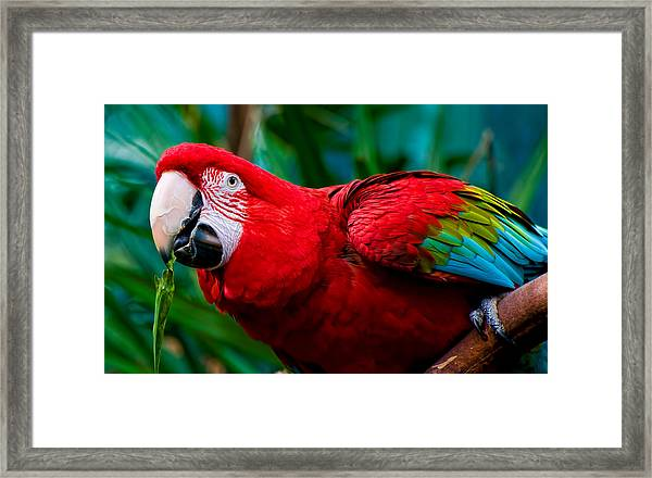 Red And Green Macaw Framed Print